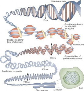 cell chromosome histone dna Informational
